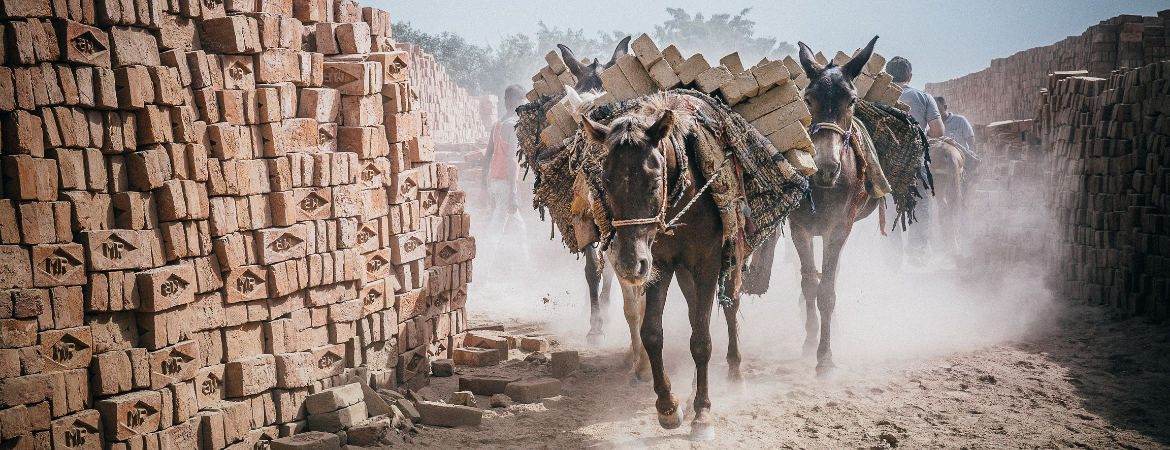 Donkeys heavily laden with bricks